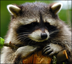 Englewood raccoon removal